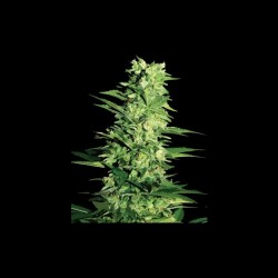 Cannabis plant black...